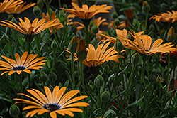 Orange Symphony African Daisy (Osteospermum 'Orange Symphony') at Creekside Home & Garden