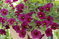 Superbells® Plum Calibrachoa (Calibrachoa 'Superbells Plum') at Creekside Home & Garden