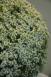 White Knight® Alyssum (Lobularia maritima 'White Knight') at Creekside Home & Garden