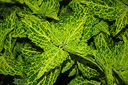 River Walk Coleus (Solenostemon scutellarioides 'River Walk') at Creekside Home & Garden