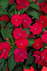 SunPatiens® Compact Royal Magenta New Guinea Impatiens (Impatiens 'SunPatiens Compact Royal Magenta') at Creekside Home & Garden