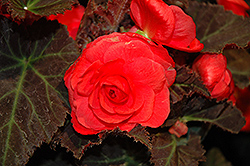 Nonstop® Mocca Cherry Begonia (Begonia 'Nonstop Mocca Cherry') at Creekside Home & Garden