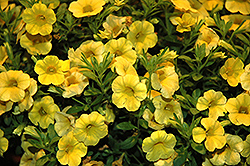 Callie® Yellow Calibrachoa (Calibrachoa 'Callie Yellow') at Creekside Home & Garden