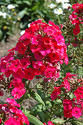 Red Flame Garden Phlox (Phlox paniculata 'Red Flame') at Creekside Home & Garden