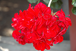 Double Take Red Geranium (Pelargonium 'Double Take Red') at Creekside Home & Garden