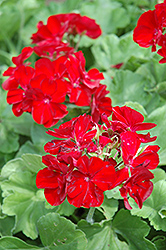 Boldly® Burgundy Geranium (Pelargonium 'Boldly Burgundy') at Creekside Home & Garden