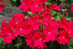 Boldly® Hot Pink Geranium (Pelargonium 'Boldly Hot Pink') at Creekside Home & Garden