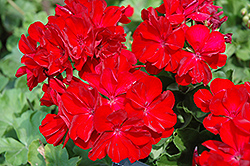 Boldly® Dark Red Geranium (Pelargonium 'Boldly Dark Red') at Creekside Home & Garden
