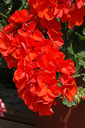 Allure Tangerine Geranium (Pelargonium 'Allure Tangerine') at Creekside Home & Garden
