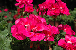 Fantasia® Purple Sizzle Geranium (Pelargonium 'Fantasia Purple Sizzle') at Creekside Home & Garden