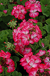 Pinto Premium Rose Bicolor Geranium (Pelargonium 'Pinto Premium Rose Bicolor') at Creekside Home & Garden