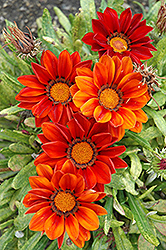New Day Clear Red Shades (Gazania 'New Day Red Shades') at Creekside Home & Garden