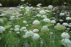 Bishop's Flower (Ammi majus) at Creekside Home & Garden