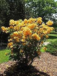 Golden Lights Azalea (Rhododendron 'Golden Lights') at Creekside Home & Garden