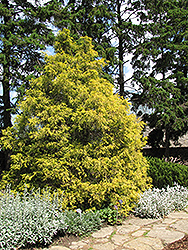 Golden Threadleaf Falsecypress (Chamaecyparis pisifera 'Filifera Aurea') at Creekside Home & Garden