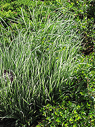 Variegated Oat Grass (Arrhenatherum elatum 'Variegatum') at Creekside Home & Garden