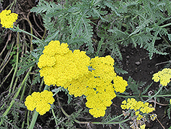 Cloth of Gold Fernleaf Yarrow (Achillea filipendulina 'Cloth of Gold') at Creekside Home & Garden