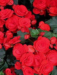 Nonstop® Red Begonia (Begonia 'Nonstop Red') at Creekside Home & Garden