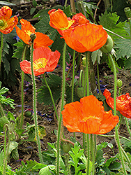Iceland Poppy (Papaver nudicaule) at Creekside Home & Garden