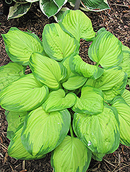 Stained Glass Hosta (Hosta 'Stained Glass') at Creekside Home & Garden