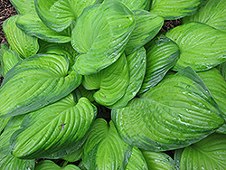 Guacamole Hosta (Hosta 'Guacamole') at Creekside Home & Garden