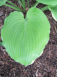Winter Snow Hosta (Hosta 'Winter Snow') at Creekside Home & Garden