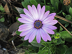 Soprano Light Purple African Daisy (Osteospermum 'Soprano Light Purple') at Creekside Home & Garden