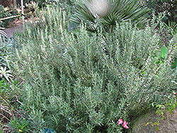 Tuscan Blue Rosemary (Rosmarinus officinalis 'Tuscan Blue') at Creekside Home & Garden