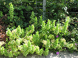 Bells Of Ireland (Moluccella laevis) at Creekside Home & Garden