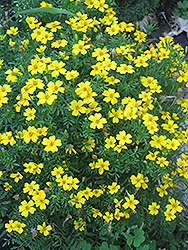 Lemon Gem Marigold (Tagetes tenuifolia 'Lemon Gem') at Creekside Home & Garden