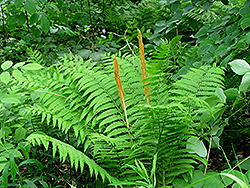 Cinnamon Fern (Osmunda cinnamomea) at Creekside Home & Garden