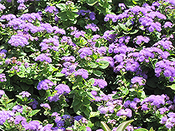 Hawaii Blue Flossflower (Ageratum 'Hawaii Blue') at Creekside Home & Garden