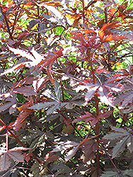 Carmencita Castor Bean (Ricinus communis 'Carmencita') at Creekside Home & Garden
