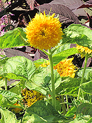 Teddy Bear Annual Sunflower (Helianthus annuus 'Teddy Bear') at Creekside Home & Garden