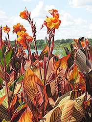 Tropicanna Canna (Canna 'Tropicanna') at Creekside Home & Garden