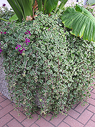 Swedish Ivy (Plectranthus forsteri 'Marginatus') at Creekside Home & Garden