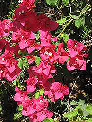 Barbara Karst Bougainvillea (Bougainvillea 'Barbara Karst') at Creekside Home & Garden