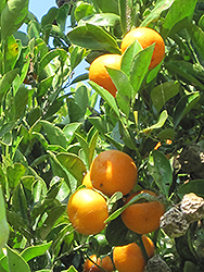 Calamondin (Citrofortunella x mitis) at Creekside Home & Garden