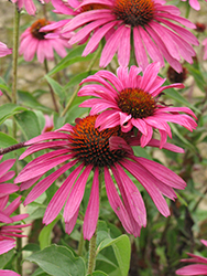 Ruby Star™ Coneflower (Echinacea purpurea 'Rubinstern') at Creekside Home & Garden