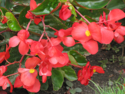 Dragon Wing Red Begonia (Begonia 'Dragon Wing Red') at Creekside Home & Garden