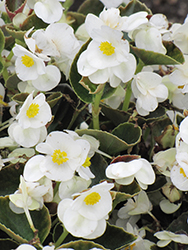Bada Bing® White Begonia (Begonia 'Bada Bing White') at Creekside Home & Garden