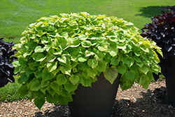 Sweet Caroline Bewitched Green With Envy™ Sweet Potato Vine (Ipomoea batatas 'NCORNSP-020BWGWE') at Creekside Home & Garden