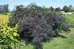 Black Lace® Elder (Sambucus nigra 'Eva') at Creekside Home & Garden
