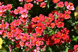 Sunsatia Cranberry Nemesia (Nemesia 'Sunsatia Cranberry') at Creekside Home & Garden