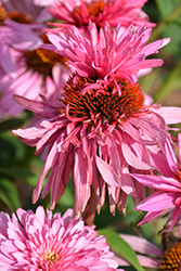 Double Decker Coneflower (Echinacea purpurea 'Double Decker') at Creekside Home & Garden