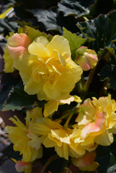 Nonstop® Yellow with Red Back Begonia (Begonia 'Nonstop Yellow with Red Back') at Creekside Home & Garden
