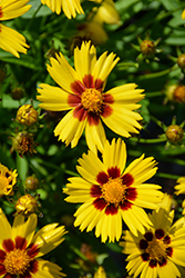 Sunkiss Tickseed (Coreopsis grandiflora 'Sunkiss') at Creekside Home & Garden