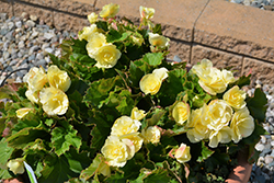 Solenia® Yellow Begonia (Begonia 'Solenia Yellow') at Creekside Home & Garden