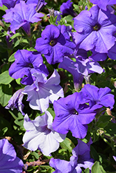 Surfinia® Heavenly Blue Petunia (Petunia 'Surfinia Heavenly Blue') at Creekside Home & Garden
