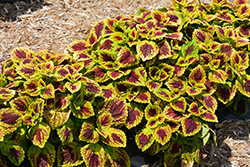 Stained Glassworks Raspberry Tart Coleus (Solenostemon scutellarioides 'Raspberry Tart') at Creekside Home & Garden
